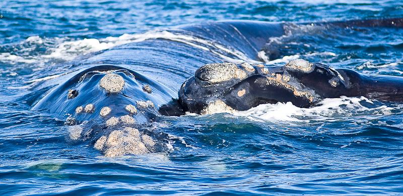 Baleine franche et son petit