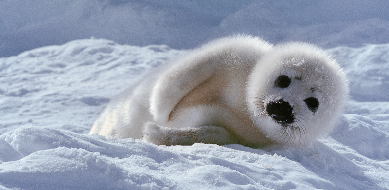 Phoque du Groenland