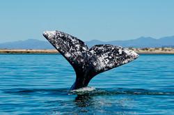 Nageoire caudale de baleine grise
