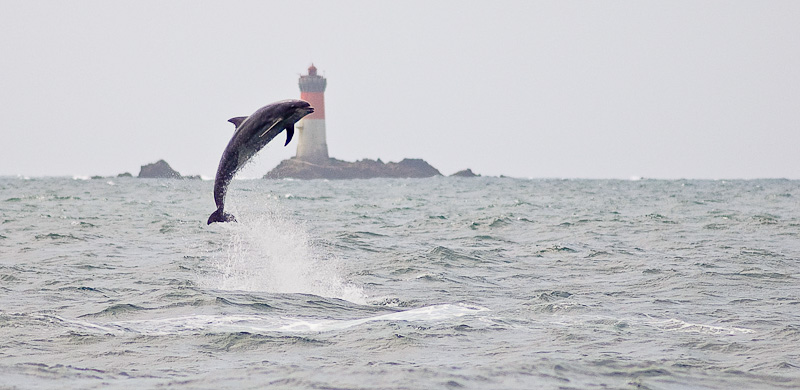 Grand dauphin en Bretagne