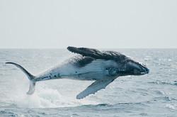 Baleine à bosse en Polynésie