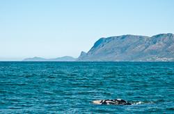 Baleine franche et Cape Point