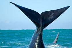 Caudale de baleine franche