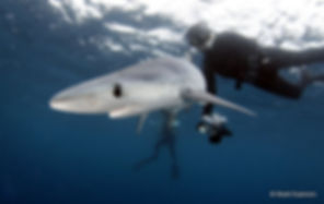Isabelle Dupré et requin peau bleue (Copyright Shark Explorers)