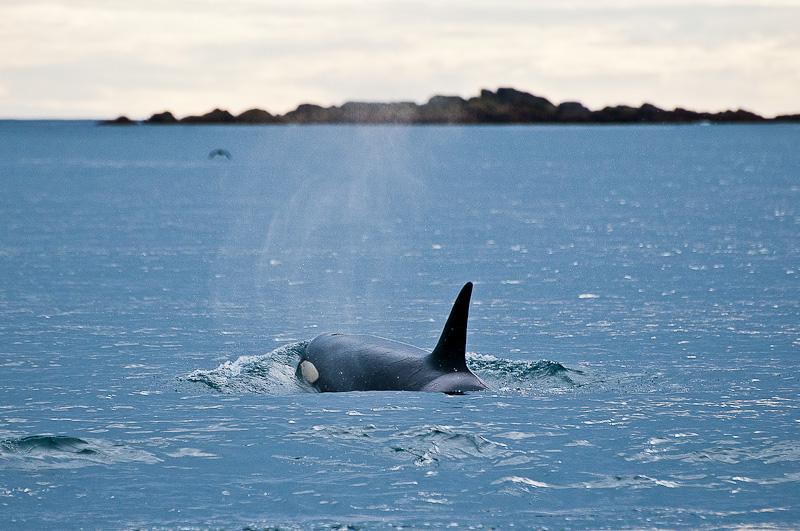 Orques en Norvège
