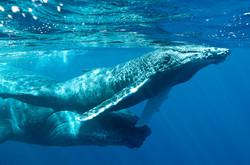 Baleineau respirant à la surface