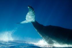 Queue de baleine à bosse