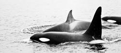 Orque (Orcinus orca)