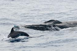 Dauphin à bec étroit et baleine