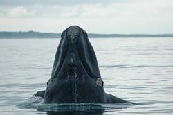 Tête de baleine franche