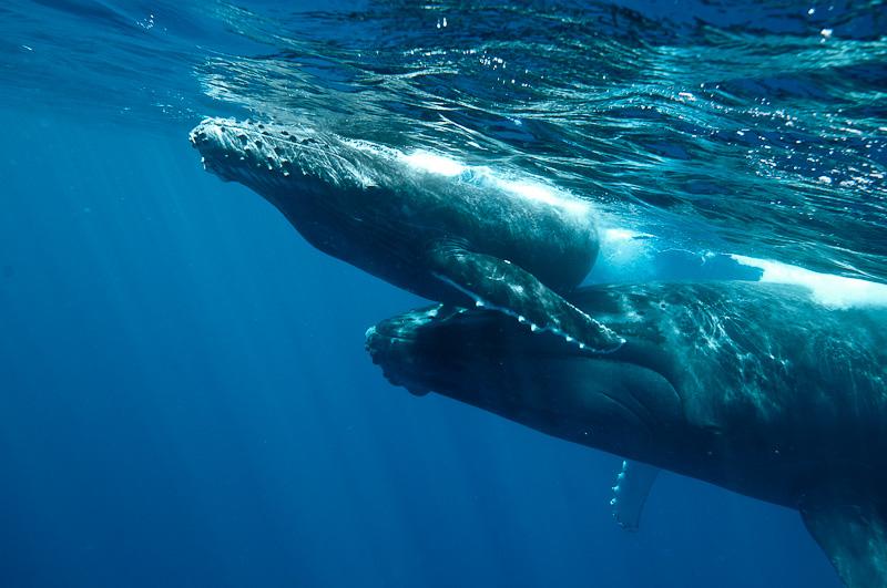 Mère baleine à bosse et baleineau