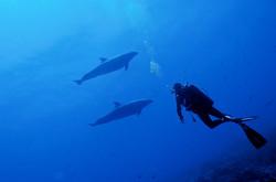 Grand dauphins (Polynésie Française)
