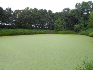 Estimating ammonium uptake rates of several species of duckweed with the AquaFluor Handheld Fluorome