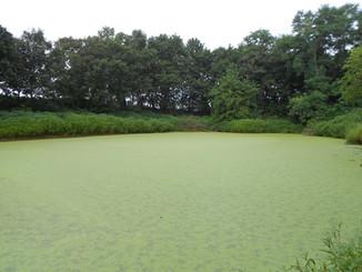 Estimating ammonium uptake rates of several species of duckweed with the AquaFluor Handheld Fluorome