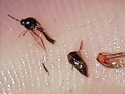 DO I HAVE MORGELLONS?  TESTING  YOUR EARS, HAIR, CLOTHING, AND HOME FOR PARASITES