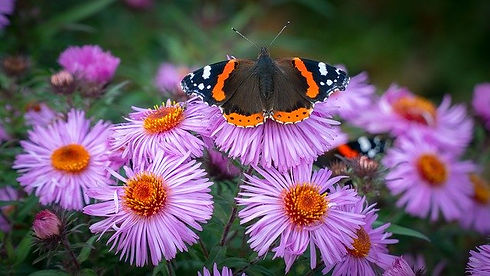 red-admiral-3168197_640.jpg
