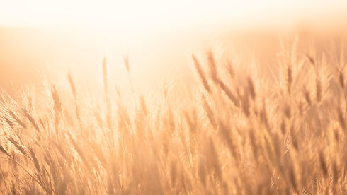 Sunrise over the Wheat Field_edited.jpg