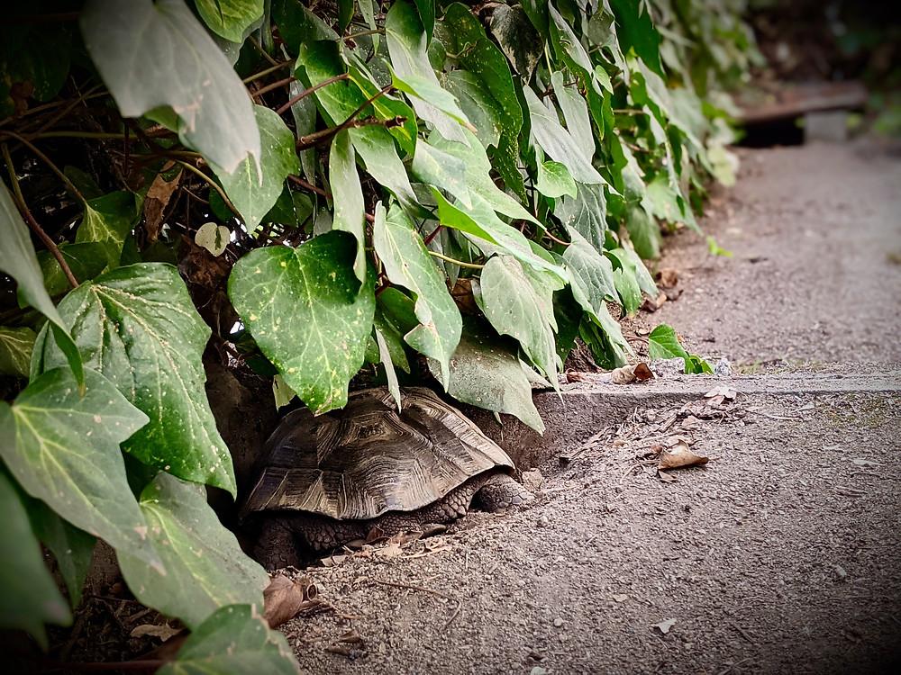 Desert tortoise sleeping in den