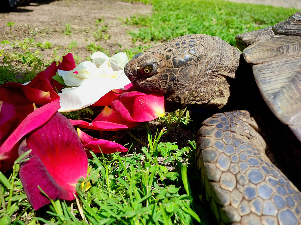 Lawrence the tortoise eating rose petals