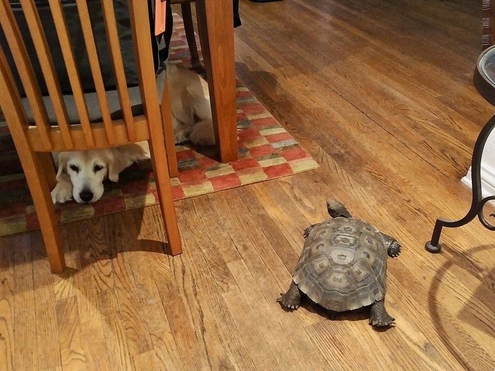 Friends - Lawrence the tortoise and Lola the golden retriever