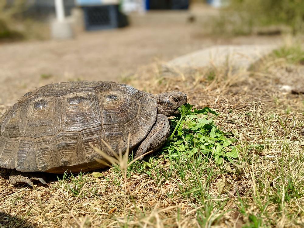 Desert tortoise eating salad