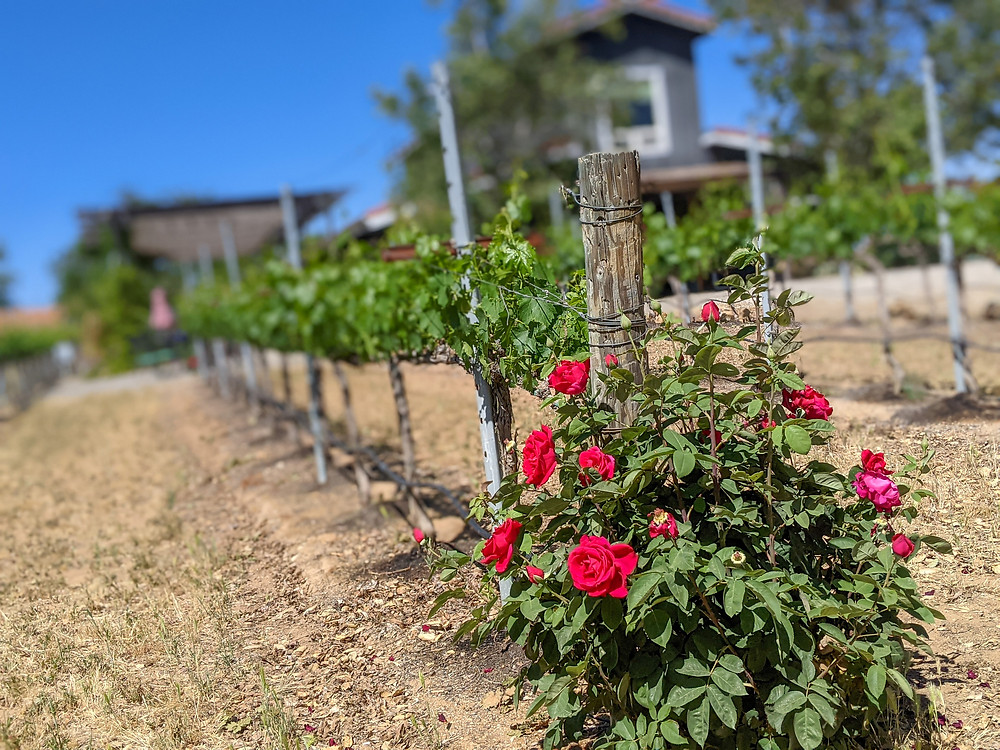 Rose bushes at the end of vineyard row
