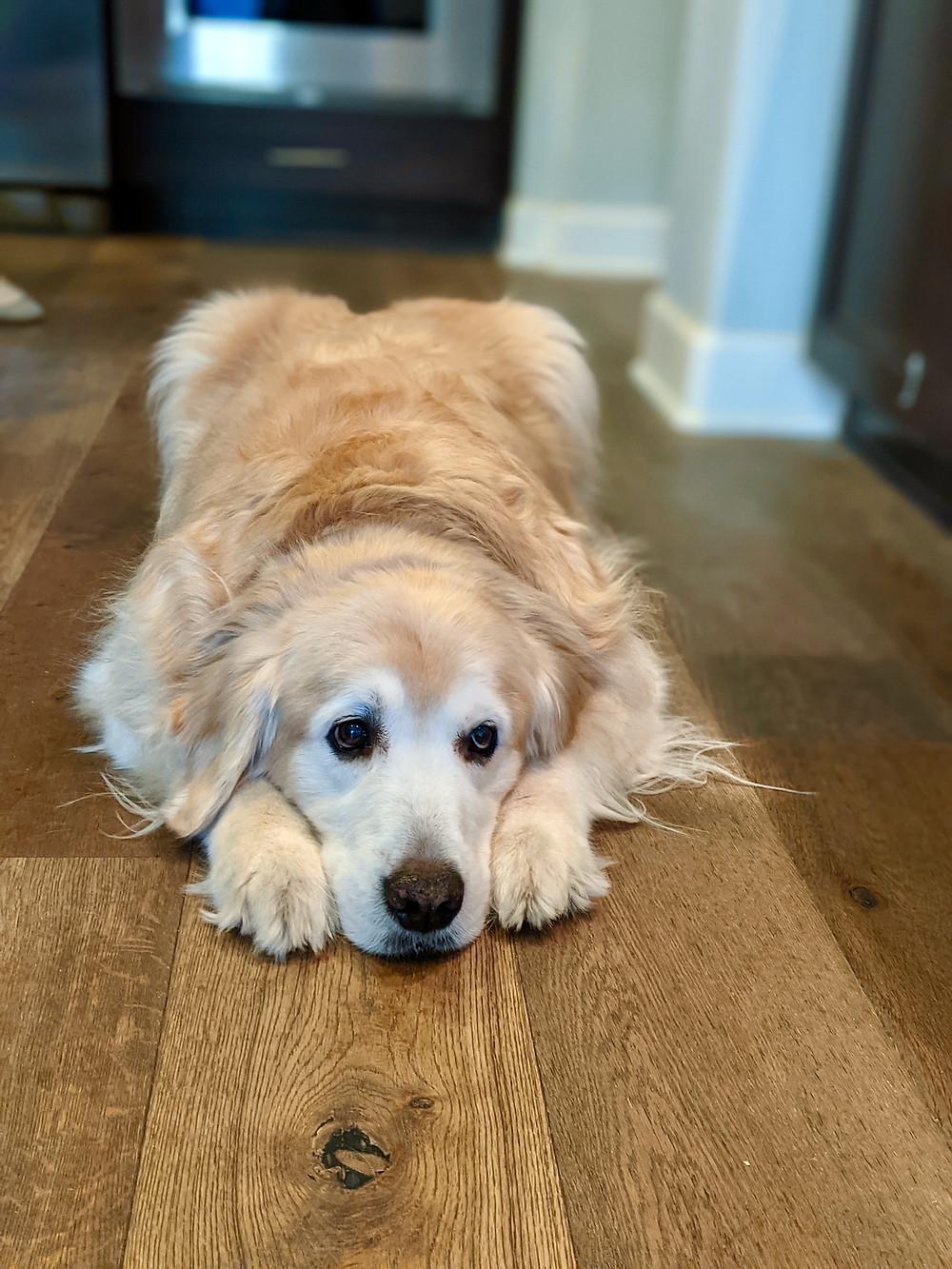 Golden retriever on hardwood floor