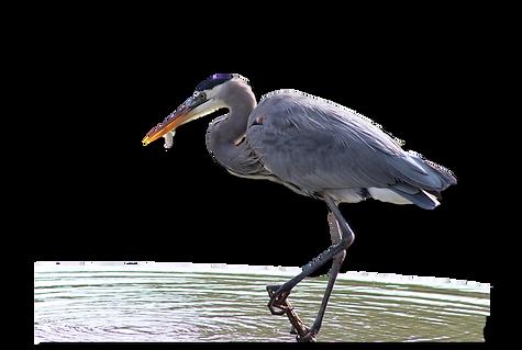 great blue heron alpha.png