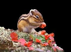 chipmunk%20alpha--pixabay_edited.png