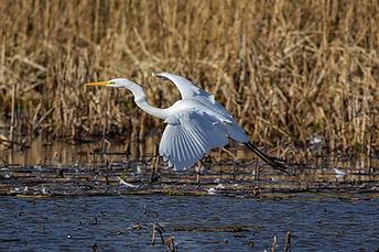 egret--pixabay.jpg