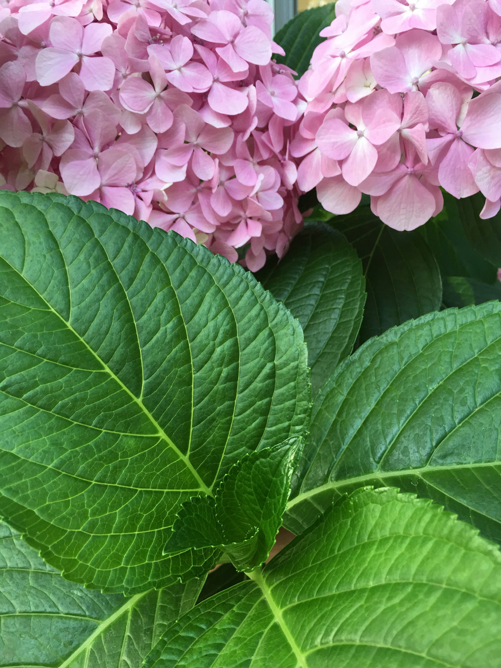 Growing Hydrangeas, Camellias, Magnolias, Rhododendrons and other cool climate plants in hot weather