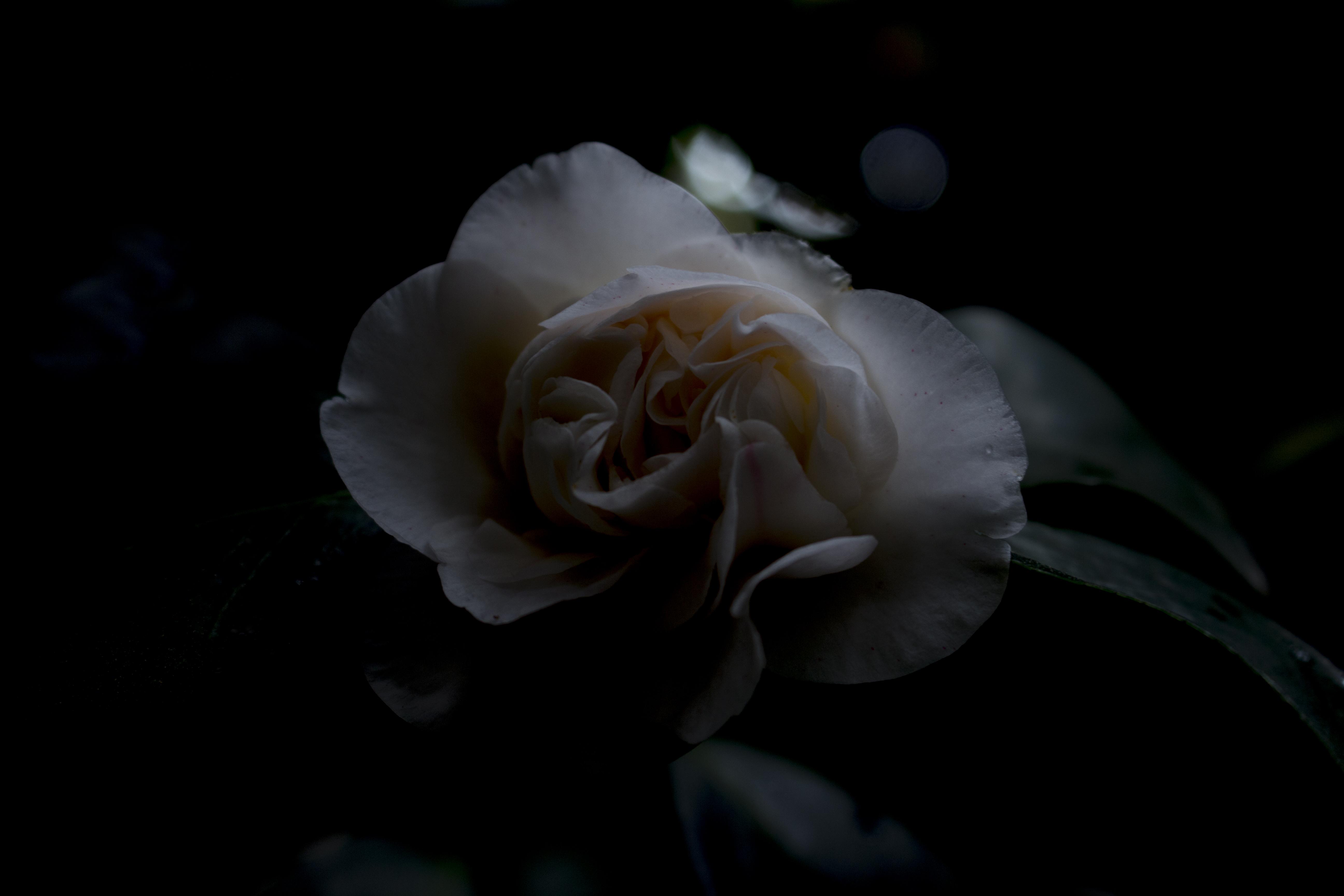 'Soft Milk Camellia'