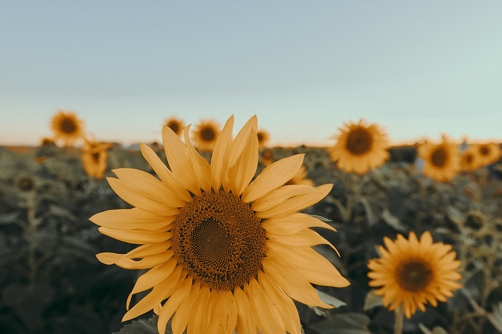 Canva - Close-Up Photo of Sunflower.jpg
