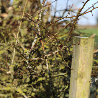 Hedgerow (autumn + winter)