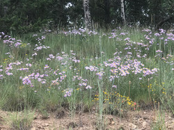 Wildflowers at McCrystal Campground