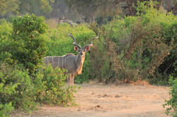 Kudu bull on floodplain