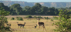 Floodplain impala