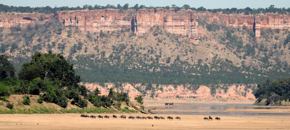 Wildebeest herd crossing the Runde