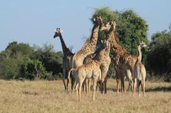 Gonarezhou's giraffe