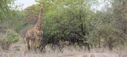 Clifftop giraffe