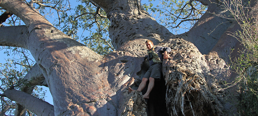 Partially felled baobab