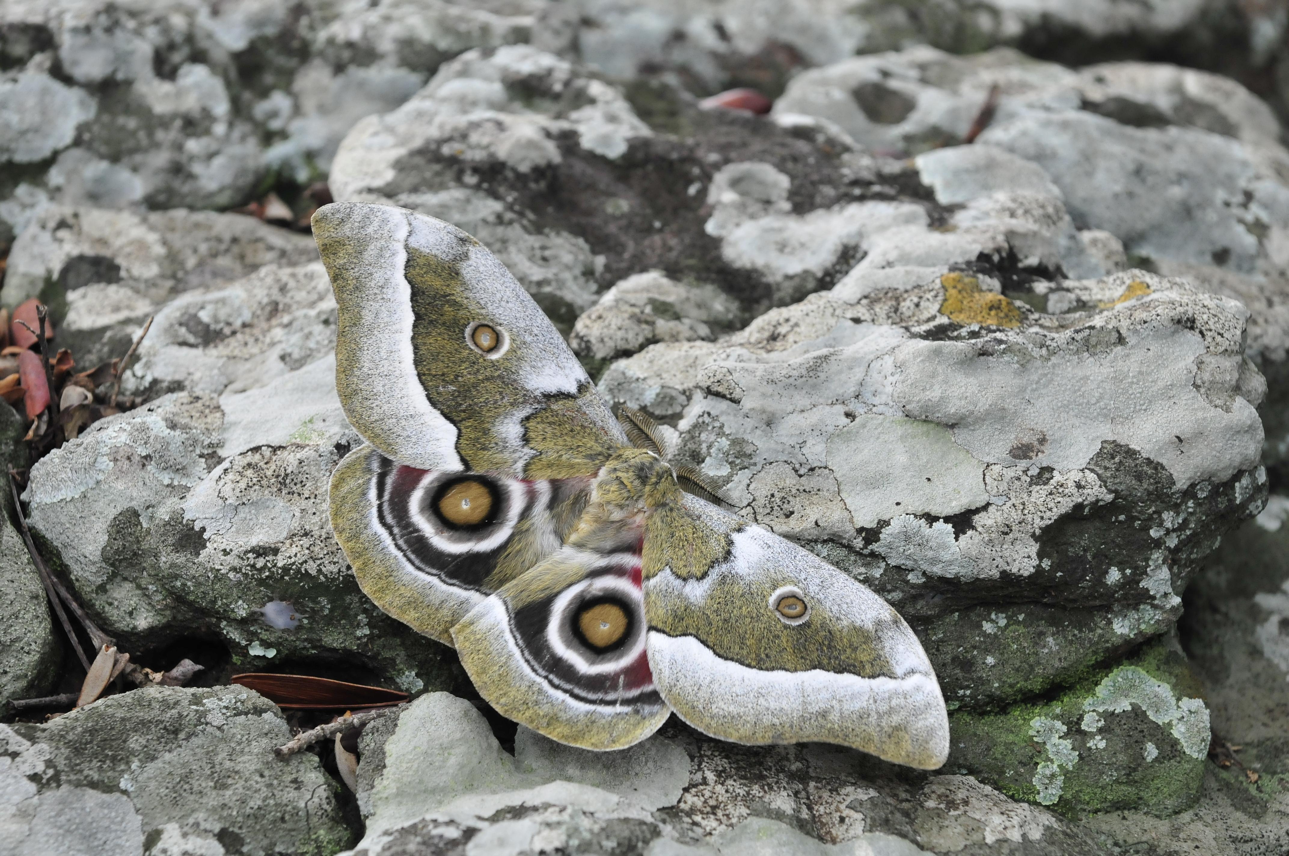 Gonimbrasia moth