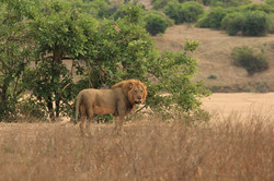 Male Lion on riverbank