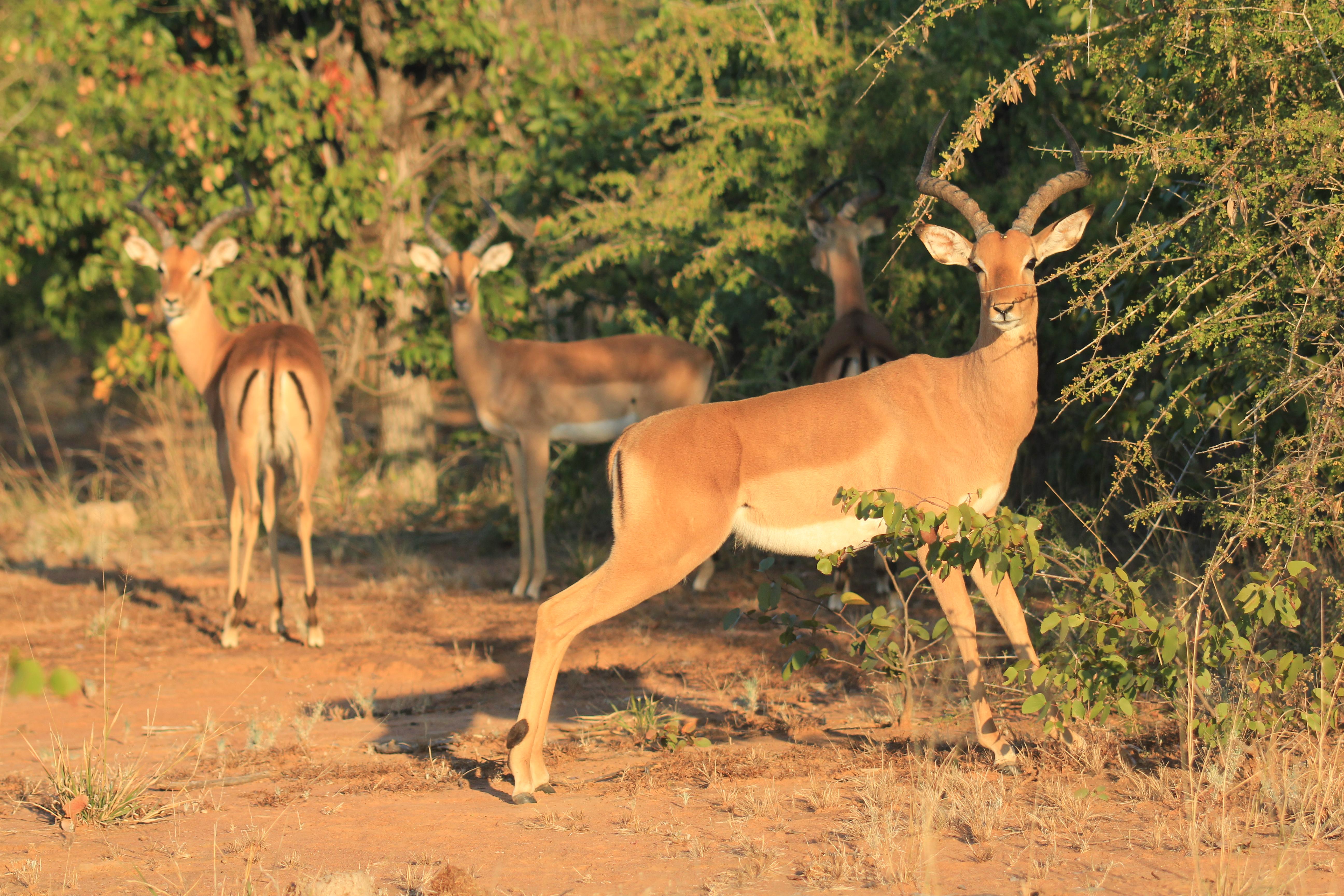 Impala rams