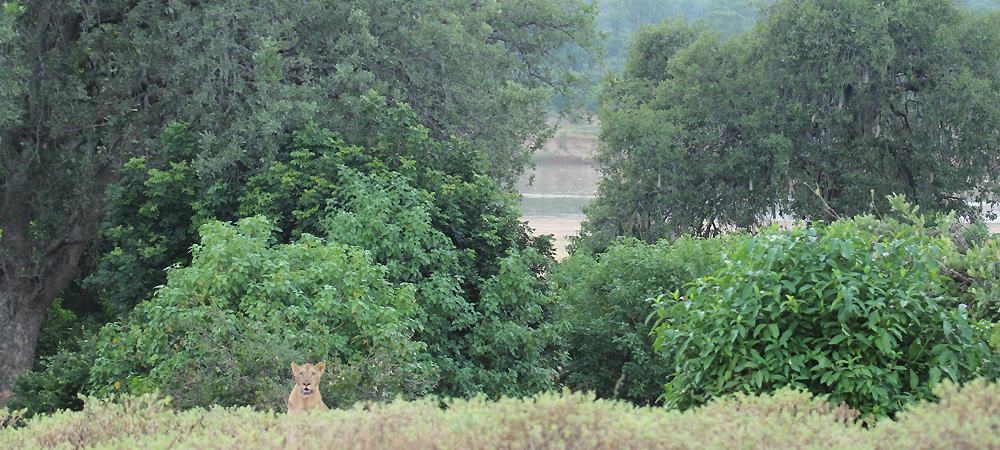 Lioness downstream from camp