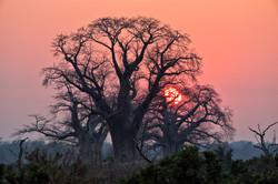 Gonarezhou's spectacular baobabs