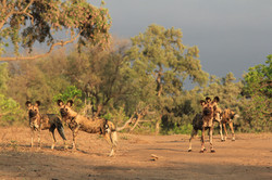 Painted Hunting Dogs at Chilojo