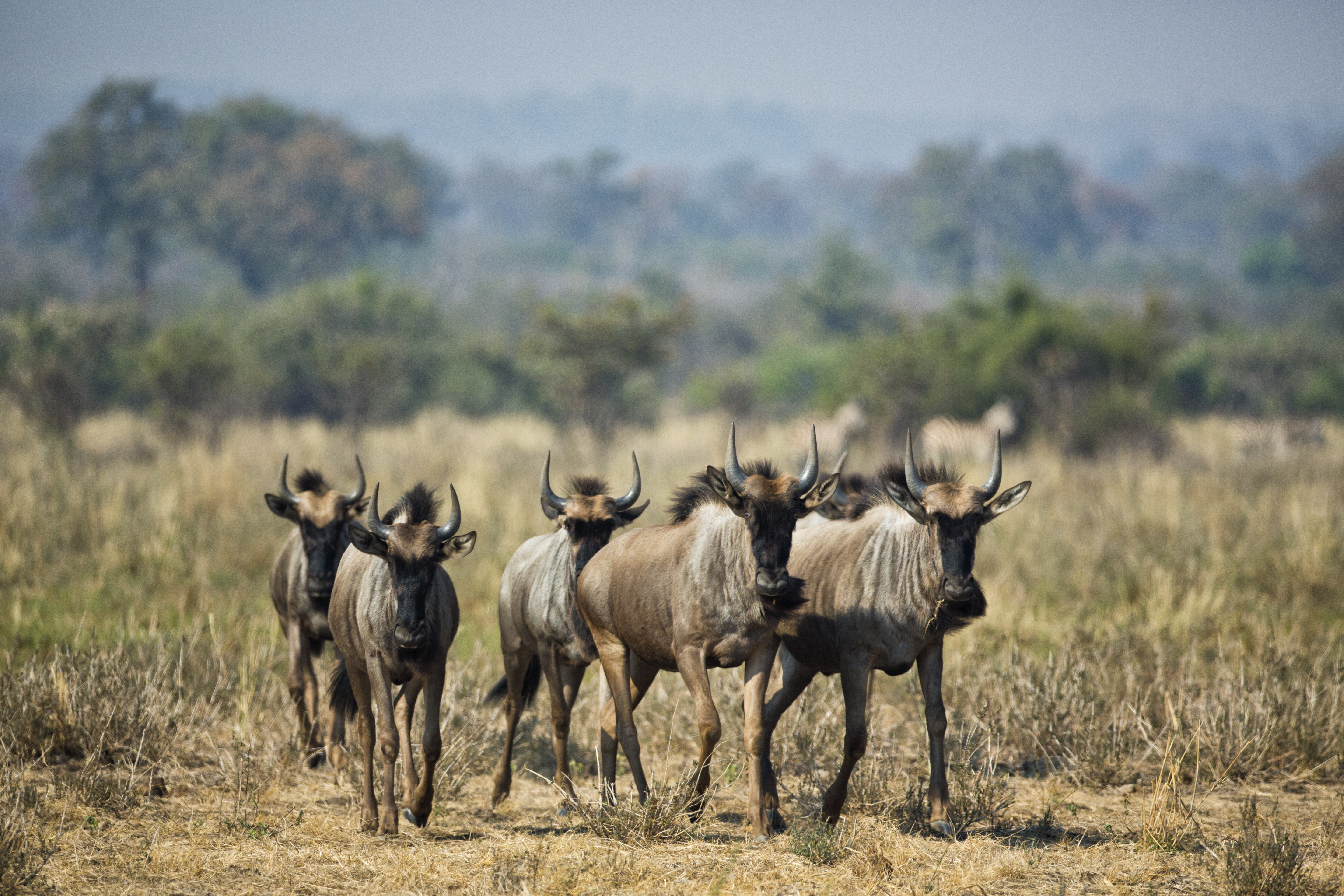 Save-Runde junction wildebeest
