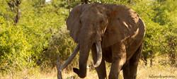 Giant Tusker