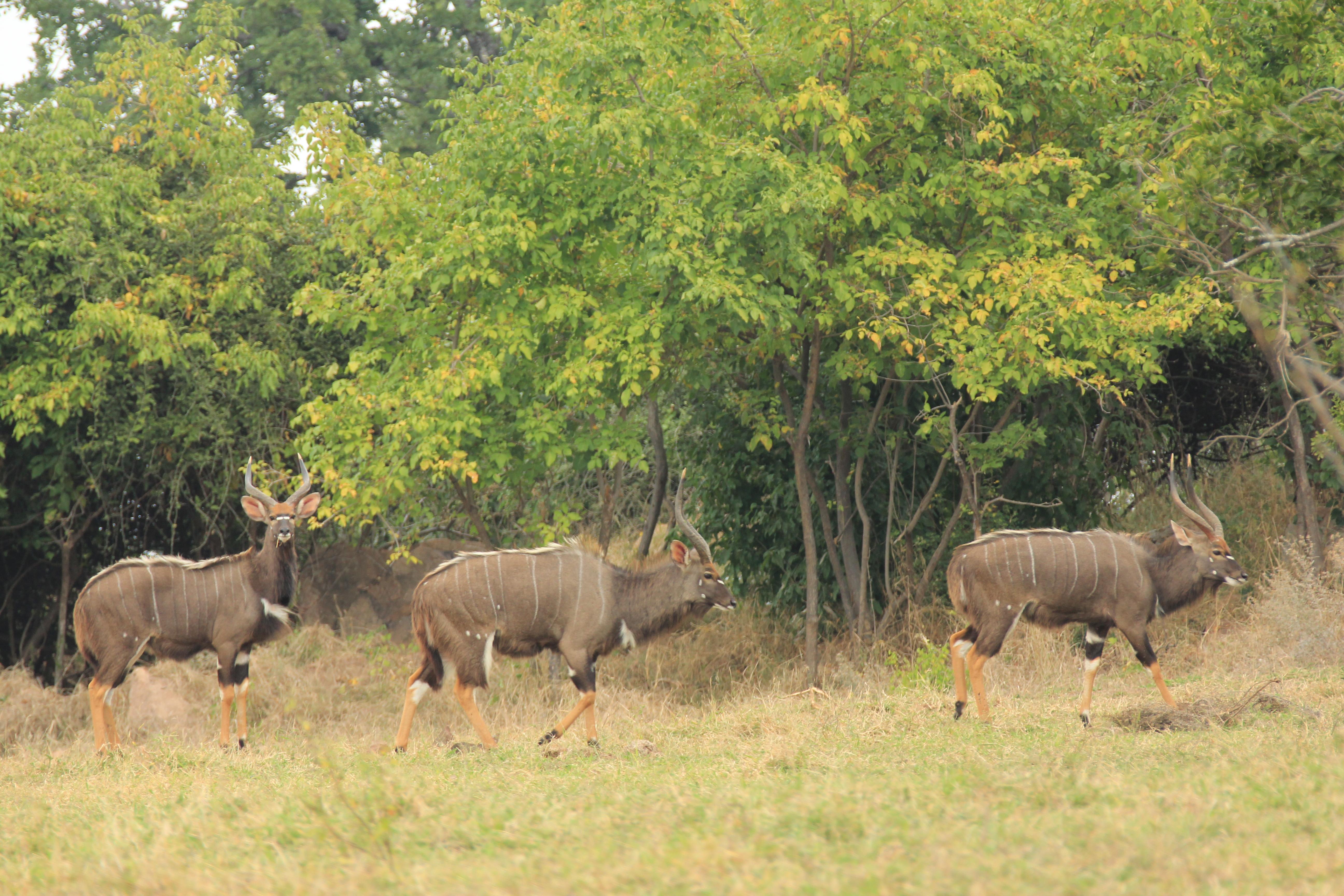 Three nyala bulls